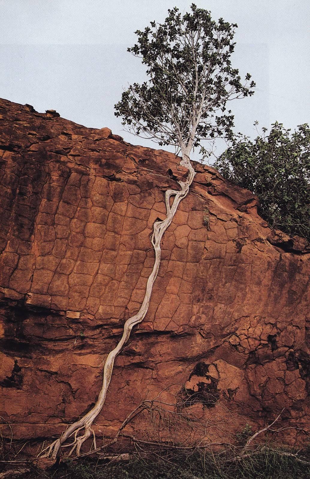 Baum in Australien - Fotograf unbekannt